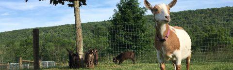 ADGA Nigerian Dwarf Goats